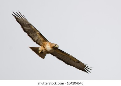Flight picture of a red-tailed hawk with a clear sky background, taken in Colorado.