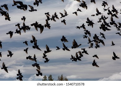Flight of pigeons over the town of Garray, province of Soria, Castilla y Leon, Spain