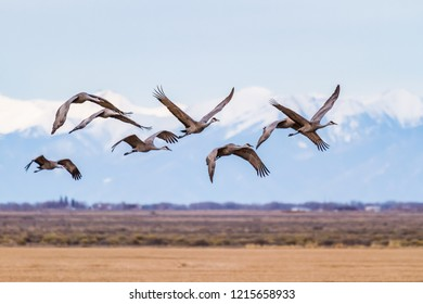A flight of Sandhill Cranes near Monte Vista, Colorado.