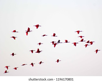 A flight of scarlet Ibis (Eudocimus ruber) flying in the sky near the Paraiba river, Brazil