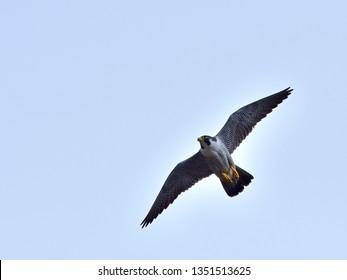 Flight scene of Peregrine Falcon (Hayabusa)