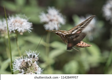 Flight of the White Lined Sphinx Moth