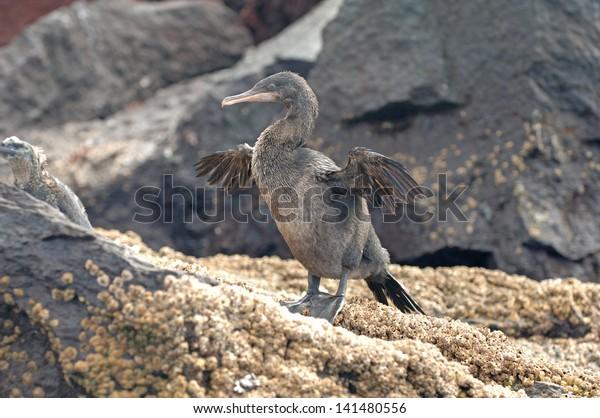 Flightless Cormorant, Isabella Island, Galapagos Islands