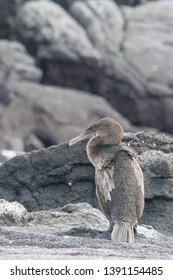 Flightless Cormorant - On The Lava Rock