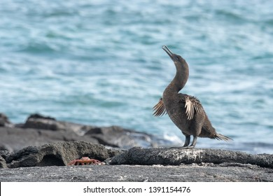 Flightless Cormorant - With Sally Lightfoot