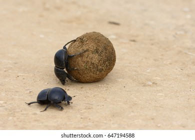 Flightless Dung Beetle, Addo Elephant National Park, Eastern Cape, South Africa