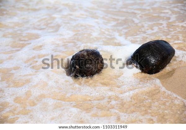 Floating coconuts on the beach