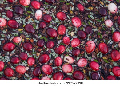 Floating cranberries close up in Muskoka Region of Ontario, Canada