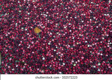 Floating cranberries and a leaf  in Muskoka Region of Ontario, Canada