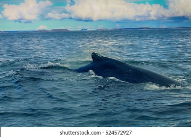 floating Hump-backed whale (Megaptera novaeangliae) in the background of the Commander Islands