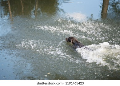 Floating hunting dog after jumping into the water