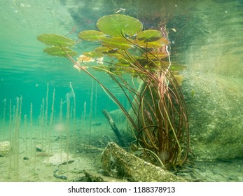 Floating leaves of European white water lily (Nymphaea alba) shot underwater in a clear-watered lake.