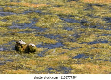 Floating mass of green filamentous pond algae. Blanket of microorganism plant on the surface of a lake.