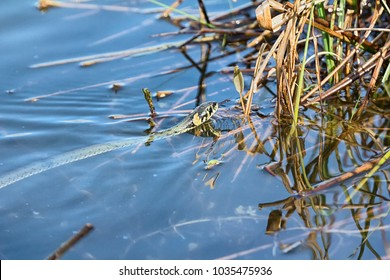 Floating snake, Grass snake (Natrix natrix) with second title is water snake it is good swimmer. It swims squirming all over its body, snake squirms among water