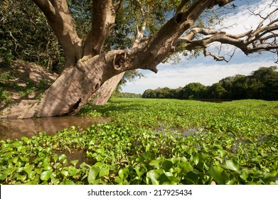 Floating vegetation and tree on an Amazon river
