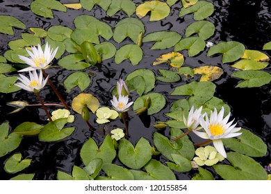 Floating water lilies in a garden