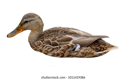 Floating wild duck with brown feathers, isolated on white background