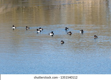 Floch with resting Tufted Ducks, Aythya fuligula, in a water with reflections
