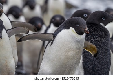 Flock of Adele penguins in breeding colors, blue eye