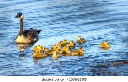 Flock of adorable golden baby geese during Spring swimmimg with their proud mother in the Chesapeake bay in Maryland