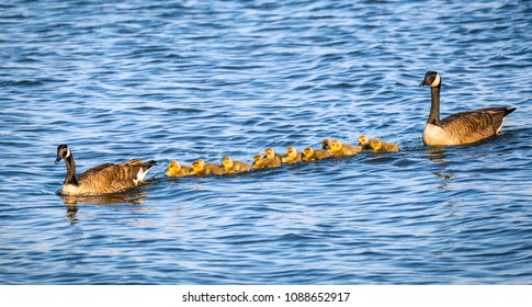 Flock of adorable golden baby geese during Spring swimmimg with their proud parents in the Chesapeake bay in Maryland
