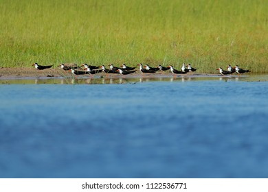 Flock of African Skimmer, Rynchops flavirostris, sitting on the ground near the river water. African tern. Beautiful black and white bird with red bill, Okavango, Africa.