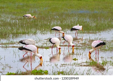 Flock of African wading stork, Yellow billed stork (Wood stork, Wood ibis) foraging for fish in water. Leaving bills partially open, wait to snap up their preys at Lake Manyara, Tanzania, East Africa