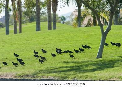 flock of American Coot Fulica americana wintering in city park in Goodyear, Arizona