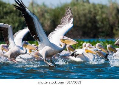 Flock of  American Great White Pelican (Pelecanus onocrotalus)