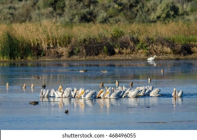 Flock of American White Pelicans Resting and Feeding in the Marsh