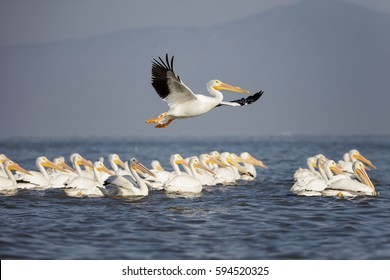 Flock of American White Pelicans swimming and flying over a lake in the wilderness
