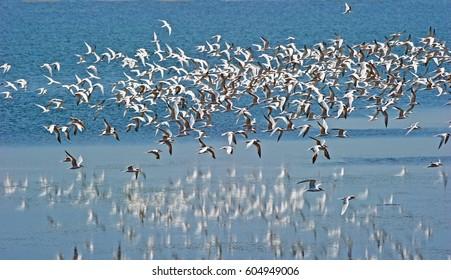 Flock of Arctic Terns in Flight