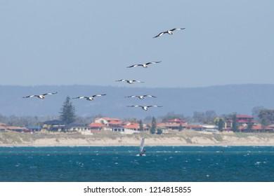 flock of Australian Pelican Pelecanus conspicillatus in flight at Penguin Island near Perth, Western Australia