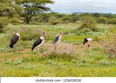 Flock of Bald-headed Marabou stork bird standing in meadow at Serengeti National Park in Tanzania, East Africa (Leptoptilos crumenifer)