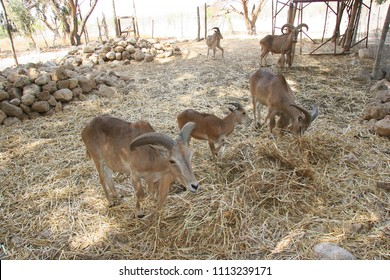 Flock of Barbary sheep, Ammotragus lervia, kept in quarantine in an enclosure to reintroduce into the wild again