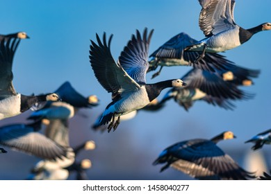 A flock of Barnacle geese in flight with a blue sky in the background - The Netherlands