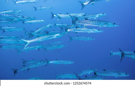 Swimming with Barracudas