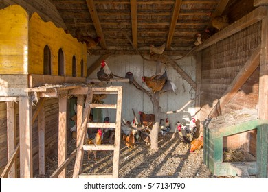 Flock of beautiful colorful roosters and hens feeding with corns in the hen house at sunny day, chickens are hyperactive and running around. Natural old way of keeping livestock.