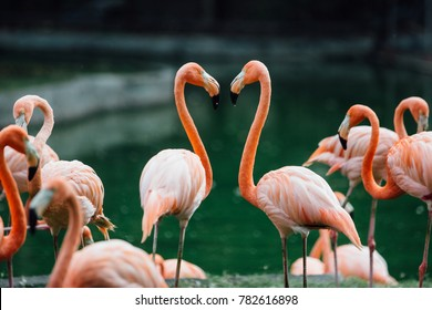 flock of beautiful pink flamingos in love near the river. Sign of the heart. St. Valentine's Day.