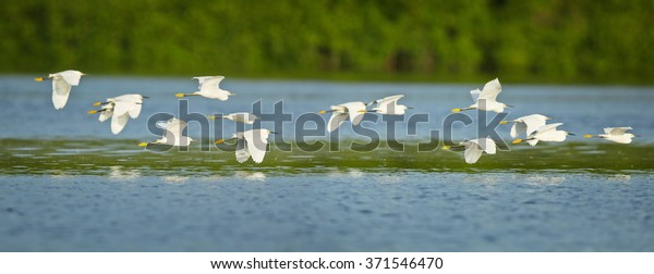 Flock of beautiful white herons Snowy Egret Egretta thula returning to overnight in evening light , flying over mirroring blue water surface,green blurred background.