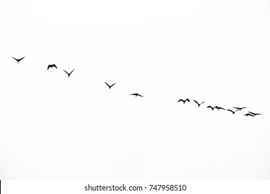 flock of  bird flying with white background