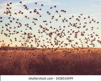 A flock of birds emerges from the fields, taking off into the evening sky. A winter landscape by sunset in nature reserve Oostvaardersplassen, the Netherlands.