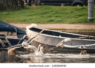 A flock of birds fight over bread that was thrown into a canal in Amsterdam, the Netherlands. Gulls and Egyptian geese fly and swim in the water.