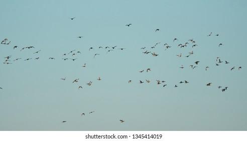 A flock of birds flies against the sky