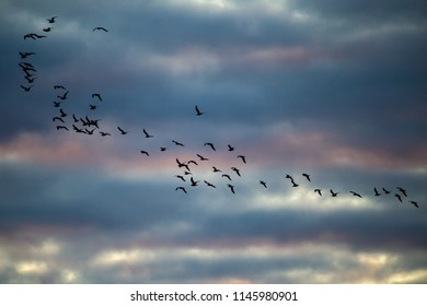 A flock of birds flies at sunset