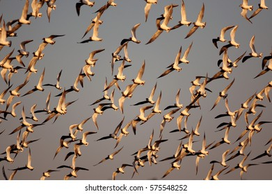 A flock of birds fly on a unset in Belarus