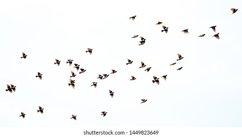 A flock of birds flying on a white background isolated. Awakening of nature in spring, free flight.