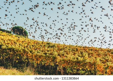Flock of birds flying over Lavaux vineyards, Switzerland