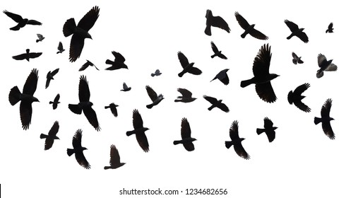 Flock of birds flying in sky. (Jackdaw, Corvus Monedula). Isolated against a white background with clipping path.