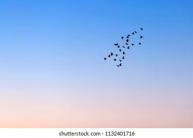 Flock of birds flying in susnet light